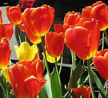 Help! I Can't Stop Taking Pictures of Tulips!!! by Patricia127