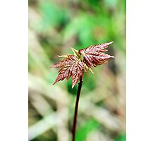 Red Maple Sapling Photographic Print
