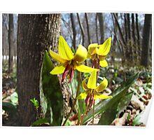 Trout Lily - Erythronium americanum Poster