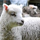 Baby Sheep by Robert  Miner