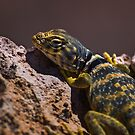 Great Basin Collared Lizard by Chris Morrison