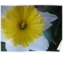 Fresh Daffodil Poster