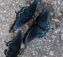 Trio of Pinevine Swallowtail Butterflies by Karen Kaleta