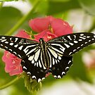 Chinese yellow swallowtail by Thad Zajdowicz