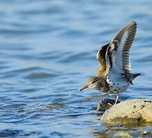 Spotted Sandpiper stretching by Wayne Wood