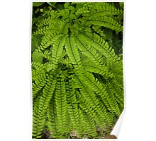 Maidenhair Ferns   Poster