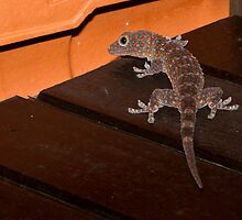 Tokay Gecko - Langkawi by Colin  Ewington