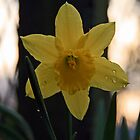 Daffodil After an Evening Shower by Geno Rugh