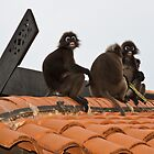 Dusky Leaf Monkeys - Langkawi by Colin  Ewington