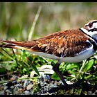 Killdeer by AngieBanta