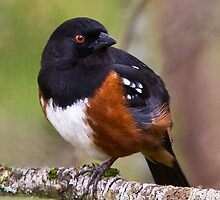 Spotted Towhee by Mikhail Lenitsyn