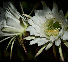 Torch Cactus-Echinopsis by Saija  Lehtonen