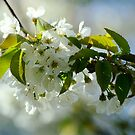 Spring Blooms by TriciaDanby
