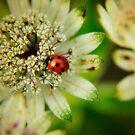 Flower and Ladybird by Karen  Betts