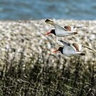 Nesting American Oystercatchers by Joe Jennelle