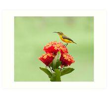 Another little sweety - sunbird in my Etty Bay garden. Art Print