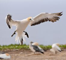 Coming in to Land by Werner Padarin