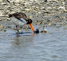 American Oystercatcher With Bivalve Mollusk by Joe Jennelle