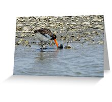 American Oystercatcher With Bivalve Mollusk Greeting Card