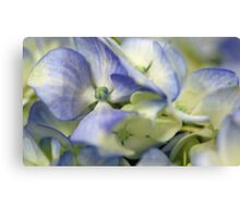 Potted Blue Hydrangea Canvas Print