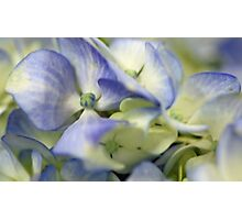 Potted Blue Hydrangea Photographic Print