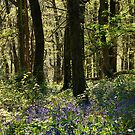 Bluebells and Beech Woods by Lorraine Parramore