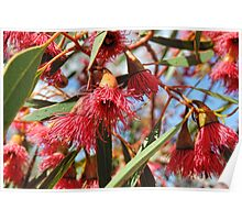 Flowers of a Red Flowering Gum Poster