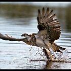 Osprey 364 by John Van-Den-Broeke