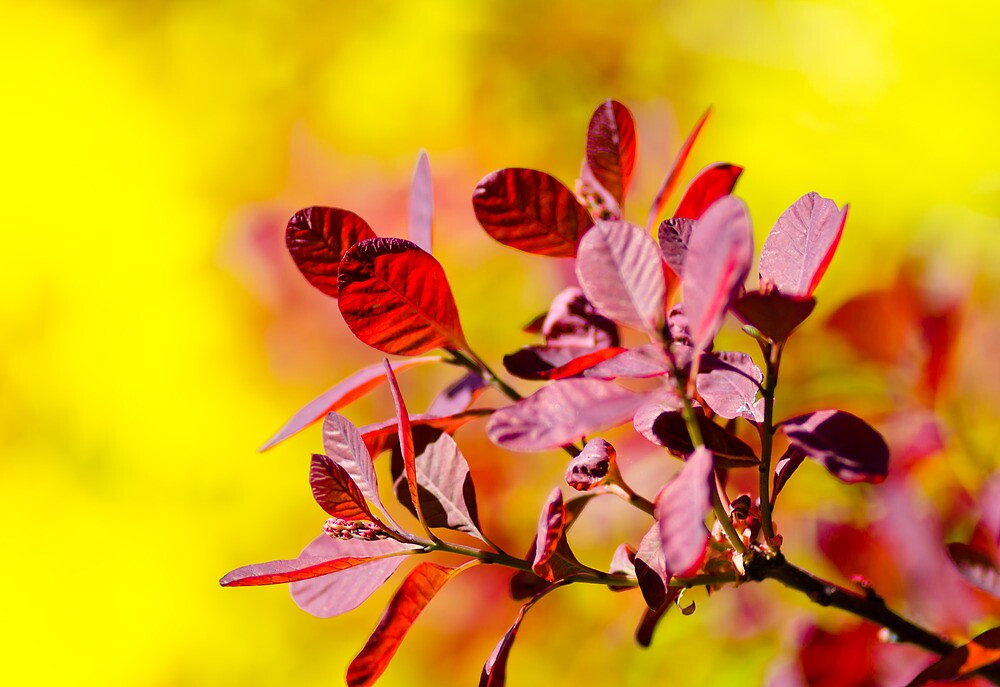 Smoke Bush by Thomas Tolkien