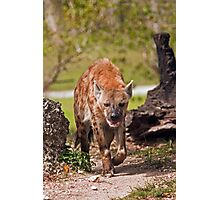 Spotted Hyena On The Food Trail Photographic Print