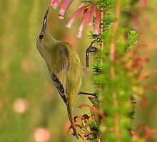 Sweet Nectar.............. by Macky