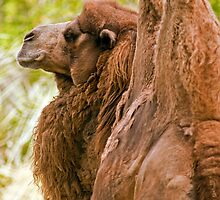Bactrian Camel by Winston D. Munnings