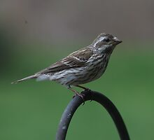 Female Purple Finch by Renee Blake