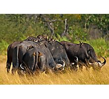 Oxpeckers' gathering Photographic Print