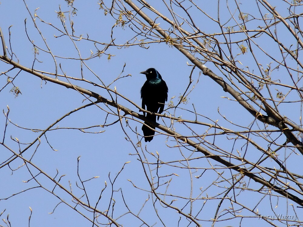 Commom Grackle -  Quiscalus quiscula by Tracy Wazny