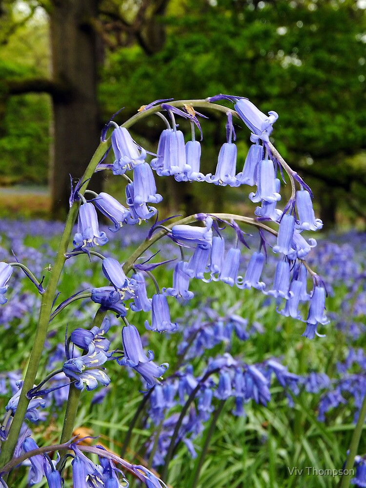 Bluebell Arch by vivsworld
