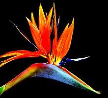 Bird of Paradise Flower by Steve