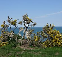 Yellow flowered gorse bush with sheep fleece, growing on a headland by Sandra Baxter