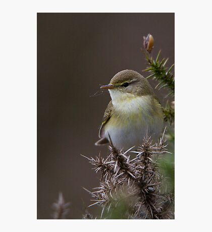 Willow Warbler Photographic Print