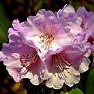Rhododendron. by Finbarr Reilly