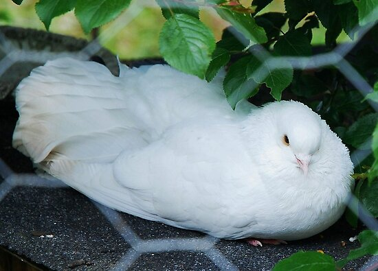 Skagit Valley white Dove by Marjorie Wallace