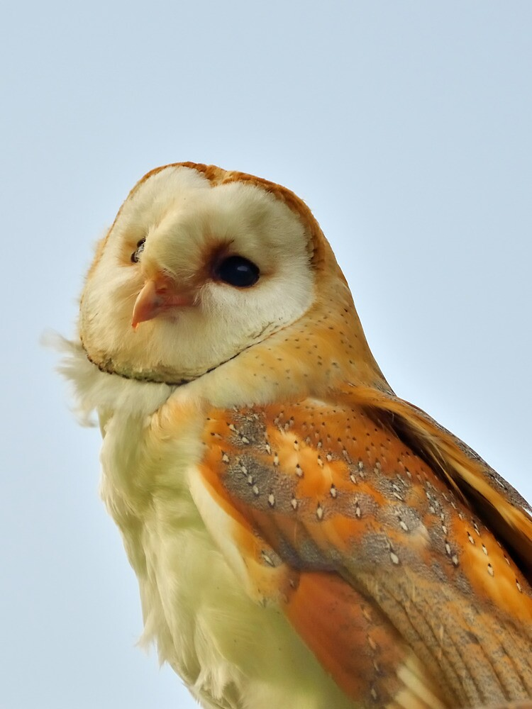 Barn owl by Stephen Frost