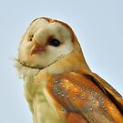 Barn owl by Stephen Frost