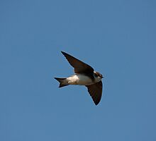 Sand Martin in flight by Jon Lees