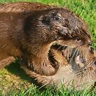 Otters at Play by Steve