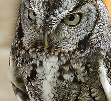Western Screech Owl by ☼Laughing Bones☾