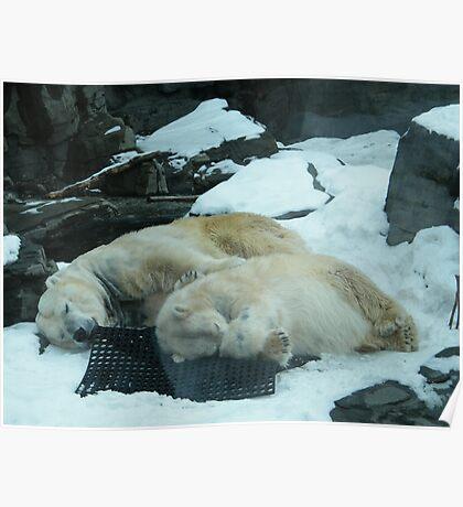 Sleeping Polar Bears, Central Park Zoo Poster