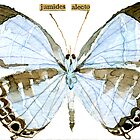 Metallic Cerulean Butterfly [Jamides alecto] by Carol Kroll
