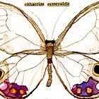 The Esmeralda Butterfly [Cithaerias esmeralda] by Carol Kroll