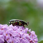 Fiddle Beetle, Eupoecila australasiae by Trish Meyer